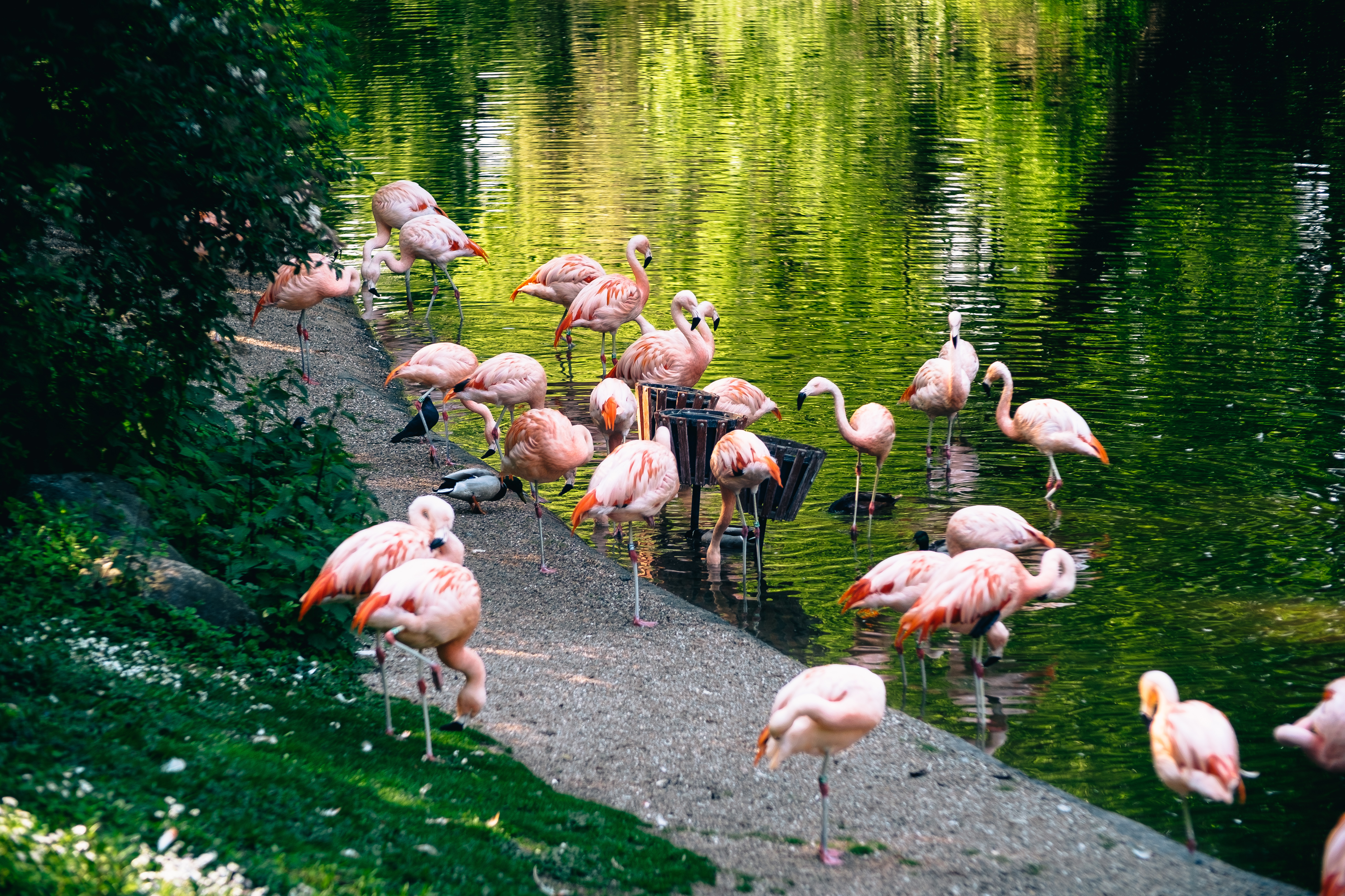 Flamingos stand in the zoo of Dortmund.
