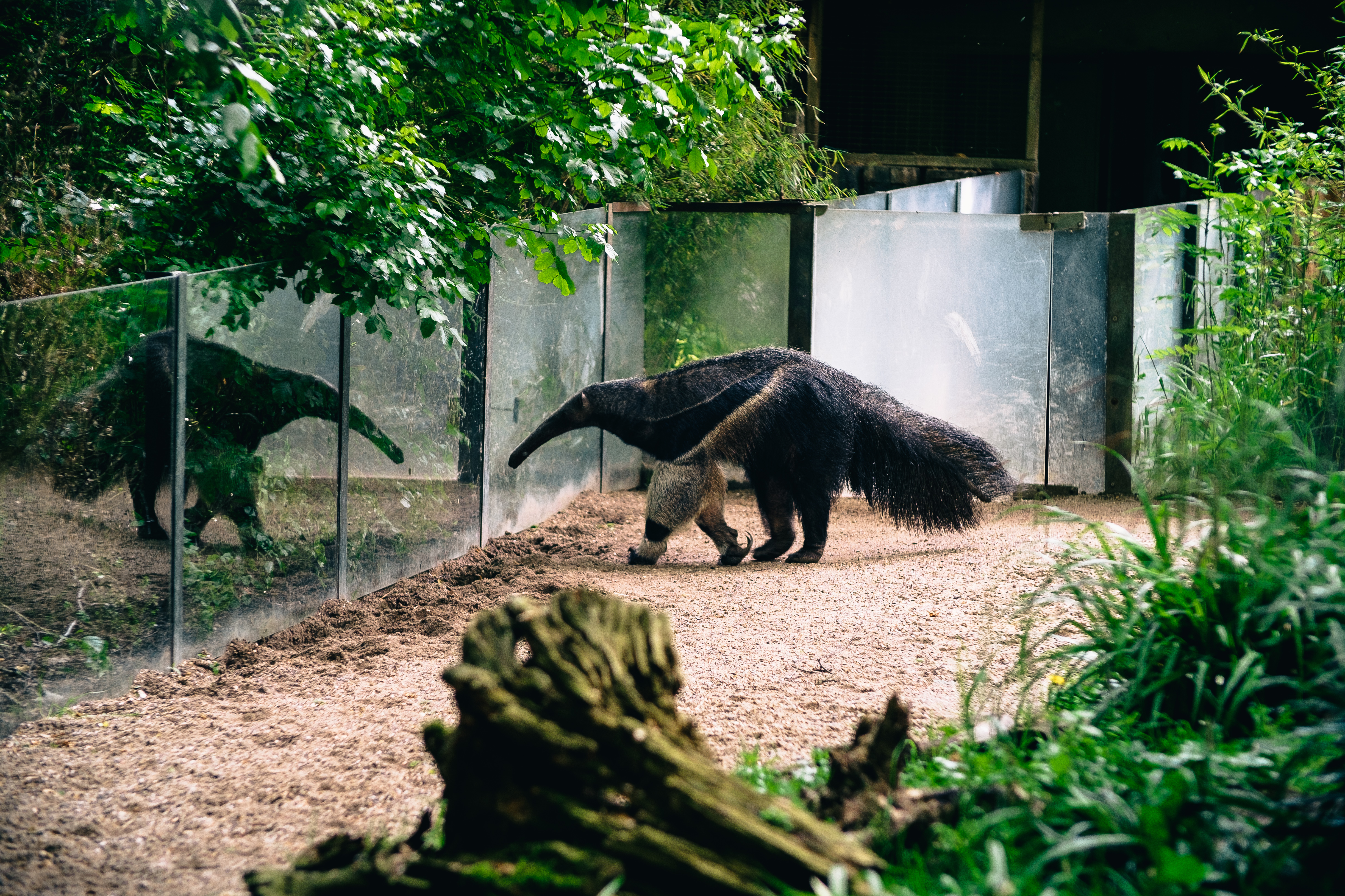 An anteater in the zoo of Dortmund.